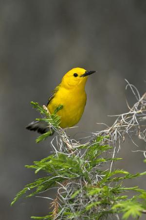 https://imgc.allpostersimages.com/img/posters/prothonotary-warbler-male-on-breeding-territory-texas-usa_u-L-PN6MYC0.jpg?p=0