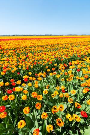 Spring Landscape with Blooming Tulips by ptnphoto
