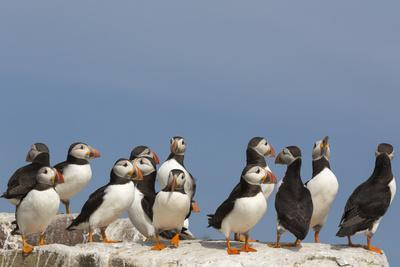 https://imgc.allpostersimages.com/img/posters/puffin-fratercula-arctica-farne-islands-northumberland-england-united-kingdom-europe_u-L-Q12SDY60.jpg?p=0