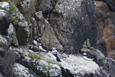 https://imgc.allpostersimages.com/img/posters/puffin-fratercula-arctica-group-rock_u-L-Q1EY9DO0.jpg?artPerspective=n