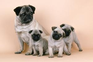Pug Dog and 3 Puppies