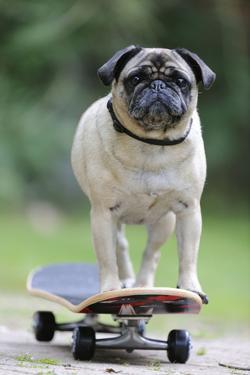 Pug on Skateboard