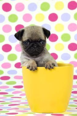 Pug Puppy (6 Wks Old) in a Yellow Pot