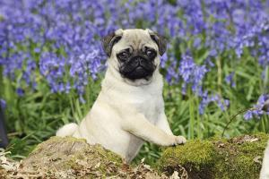 Pug Puppy in Bluebells