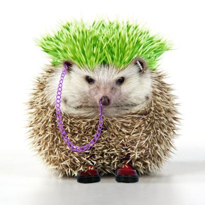 Punk 'Boy' Hedgehog