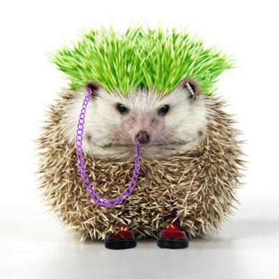 Punk 'Boy' Hedgehog