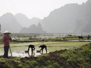 Rice Planters Working in Paddy Fields, Vietnam, Indochina, Southeast Asia by Purcell-Holmes