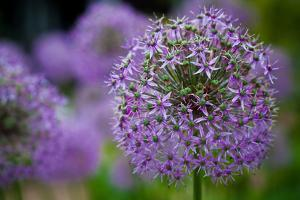 Purple Allium Flowers Photo Print Poster