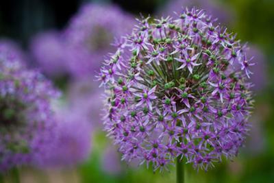 Purple Allium Flowers Plastic Sign