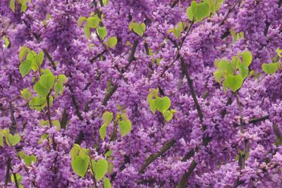 https://imgc.allpostersimages.com/img/posters/purple-blossoms-on-redbud-tree-multnomah-county-oregon-usa_u-L-PN6S510.jpg?p=0