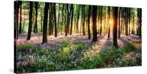 Purple Bluebell Woods Sunrise