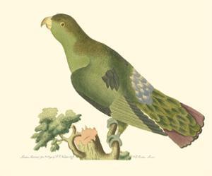 Purple-Tailed Parakeet