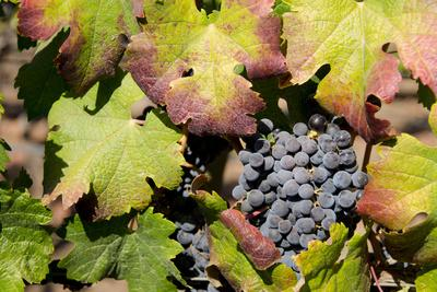 https://imgc.allpostersimages.com/img/posters/purple-wine-grapes-on-the-vine-napa-valley-california-usa_u-L-PN6NIE0.jpg?p=0