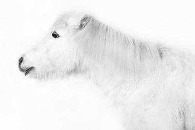 Weisses Pony Vor Weissem Hintergrund by purplequeue
