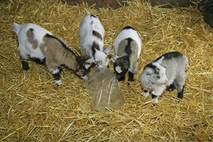 Pygmy Goat Kids Investigating a Polythene Bag