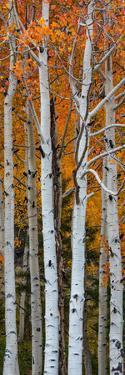 Quaking Aspen (Populus Tremuloides) Trees, Boulder Mountain, Dixie National Forest, Utah, USA