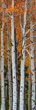 Quaking Aspen (Populus Tremuloides) Trees, Boulder Mountain, Dixie National Forest, Utah, USA