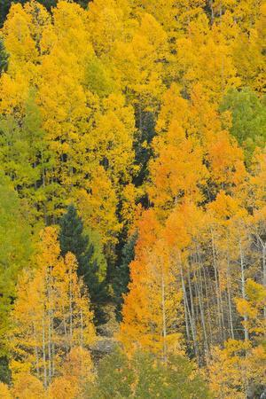 https://imgc.allpostersimages.com/img/posters/quaking-aspens-in-a-fall-glow-bald-mountain-new-mexico-usa_u-L-PN6PZP0.jpg?p=0