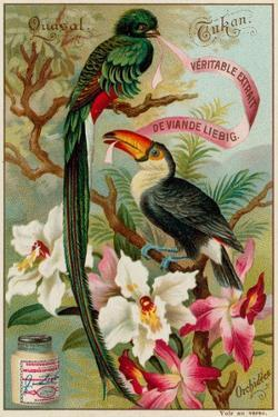 Quasal, Tukan and Orchidees