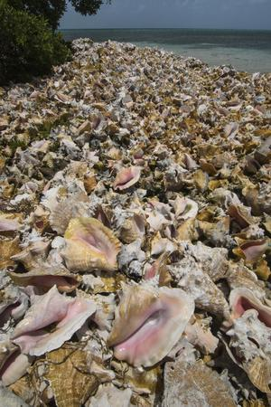 https://imgc.allpostersimages.com/img/posters/queen-conch-shells-harvested-for-their-meat-hat-caye-lighthouse-reef-atoll-belize_u-L-Q12TBLJ0.jpg?p=0