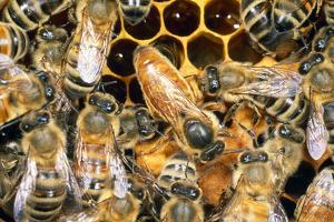 Queen Honey Bee with Attendant Workers
