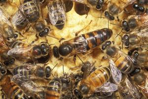 Queen Honeybee Clipped Wings