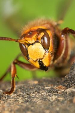 Queen Hornet Defensive Stance