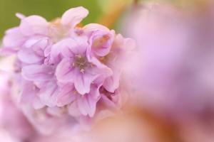 Thrift (Armeria Pungens) Flower Close Up, Alentejo, Portugal by Quinta