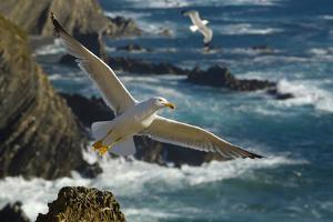 Yellow Legged Gull (Larus Michahellis) in Flight, Cabo Sardão (Cape) Alentejo, Portugal by Quinta