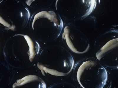 Spotted Salamander Eggs (Ambystoma Maculatum), Eastern North America