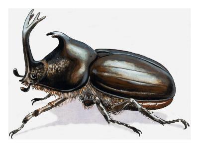 Stag Beetle, 1966
