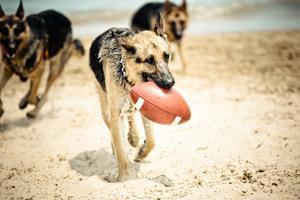 Dog Holding Ball in Mouth by R. Brandon Harris