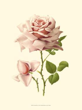 Victorian Rose I by R^ Guillot