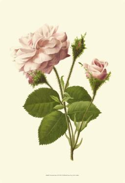 Victorian Rose II by R. Guillot