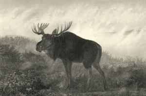 American Moose by R. Hinshelwood