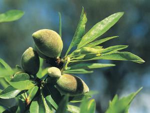 Close-Up of Almonds (Prunus Dulcis) by R. Sacco