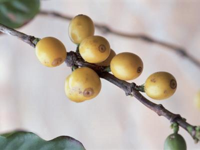 Close-Up of Coffee Beans on a Plant