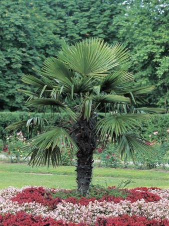 Lady Palm Tree in a Formal Garden (Chamaerops Excelsa)