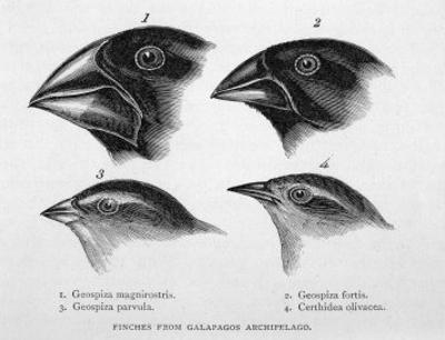 Finches from the Galapagos Islands Observed by Darwin by R.t. Pritchett