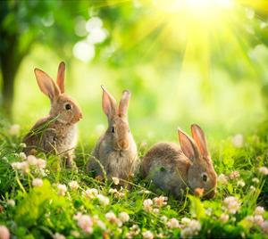 Rabbits Sunny Flower Meadow