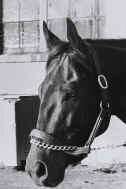 Race Horse Seattle Slew Poking His Head from Stall