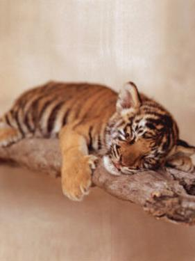 All Tiger-ed Out by Rachael Hale