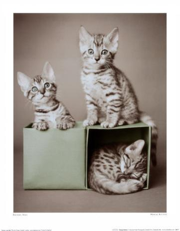Bengal Kittens by Rachael Hale