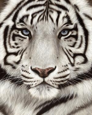 White Tiger Face Portrait by Rachel Stribbling