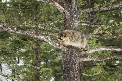 https://imgc.allpostersimages.com/img/posters/racoon-raccoon-procyon-lotor-montana-united-states-of-america-north-america_u-L-PWFRE60.jpg?p=0