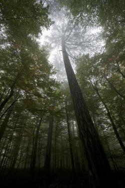Black Pine (Pinus Nigra) Surrounded by Beech Trees, Tara Canyon, Durmitor Np, Montenegro by Radisics