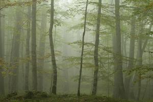 Forest with Beech Trees and Black Pines in Mist, Crna Poda Nr, Tara Canyon, Durmitor Np, Montenegro by Radisics