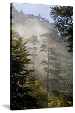 Rays of Light Shining Through Mist, Black Pines (Pinus Nigra) Crna Poda Nr, Durmitor Np, Montenegro by Radisics