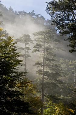 Rays of Light Shining Through Mist, Black Pines (Pinus Nigra) Crna Poda Nr, Durmitor Np, Montenegro by Radisics