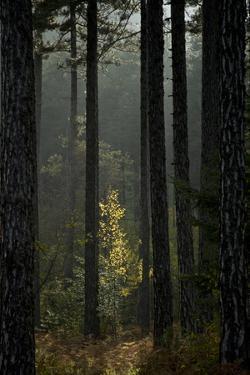 Trunks in Pine (Pinus Nigra) Forest, Valia Calda, Pindos Np, Pindos Mountains, Greece, October by Radisics